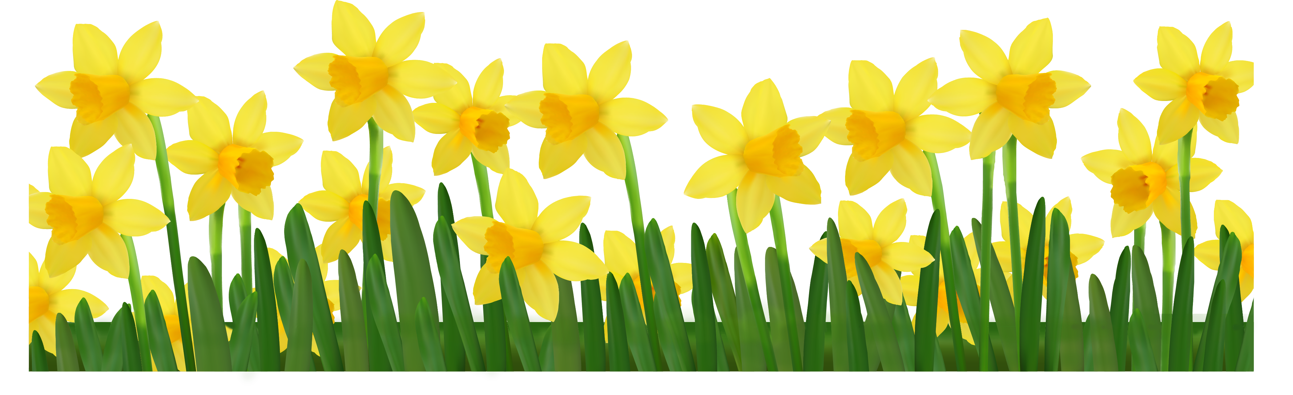 Daffodil vector yellow. Free images daffodils download