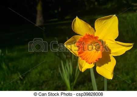 Daffodil clipart flower blossom. Yellow narcissus in the clip stock