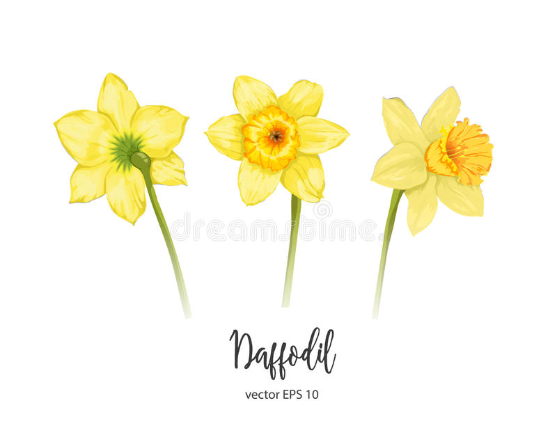 Daffodil clipart flower blossom. Vector realistic narcissus set banner library download