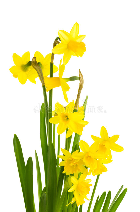 Yellow flowers in full. Daffodil clipart flower blossom picture freeuse download