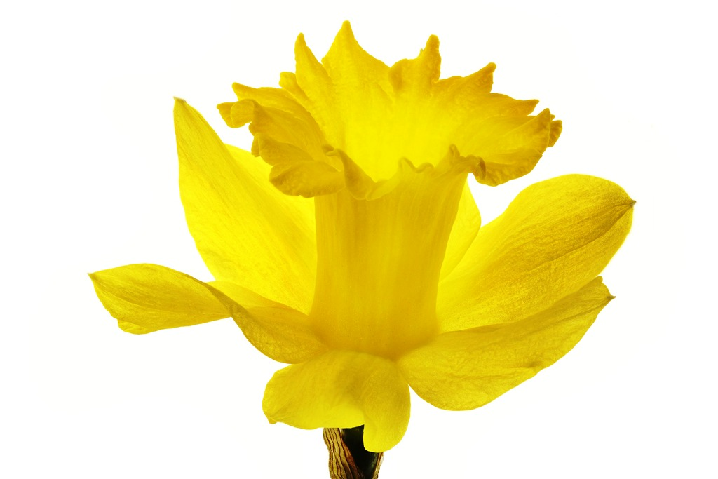Daffodil clipart flower blossom. At getdrawings com free clip transparent