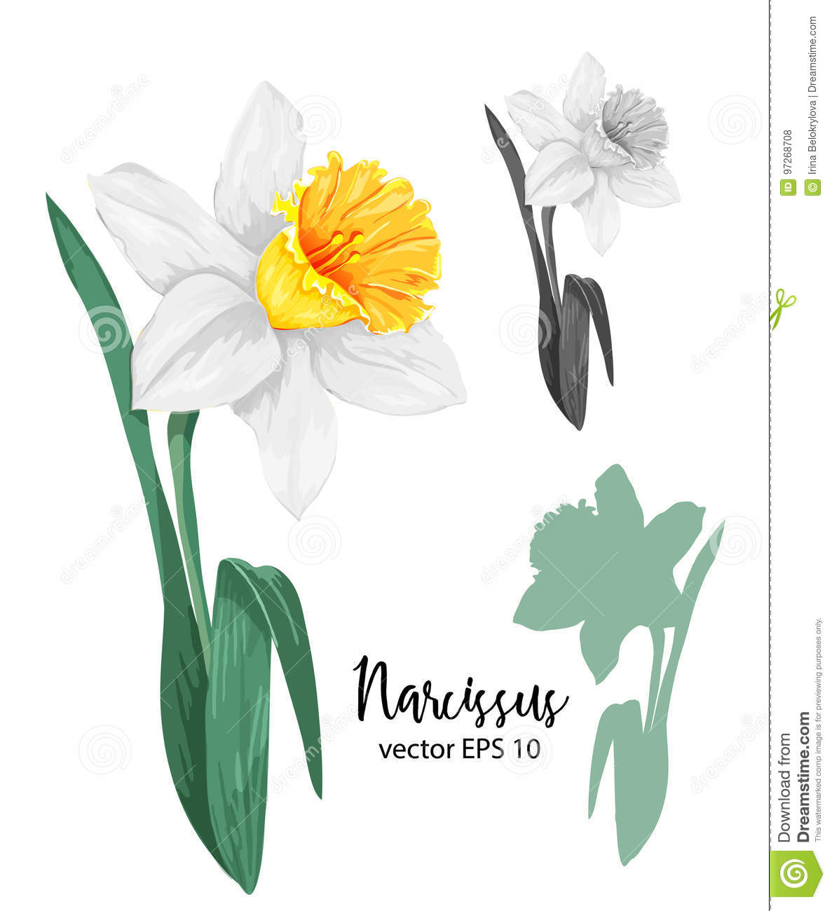 Daffodil clipart flower blossom. Vector realistic narcissus set graphic transparent