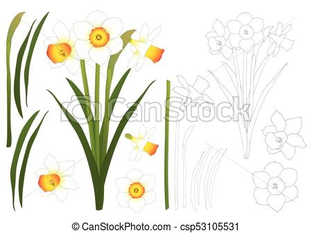 Daffodil clipart illustration. Narcissus outline daffodill vector banner transparent stock