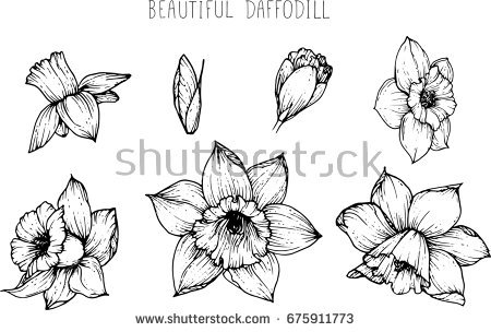 Flowers drawing vector stock. Daffodil clipart illustration jpg freeuse