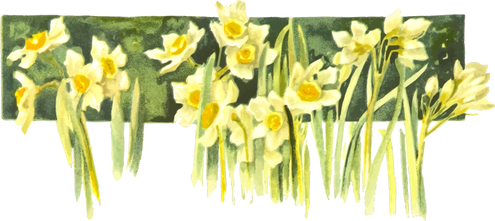 Daffodil watercolor painting book. Narcissus drawing royalty free