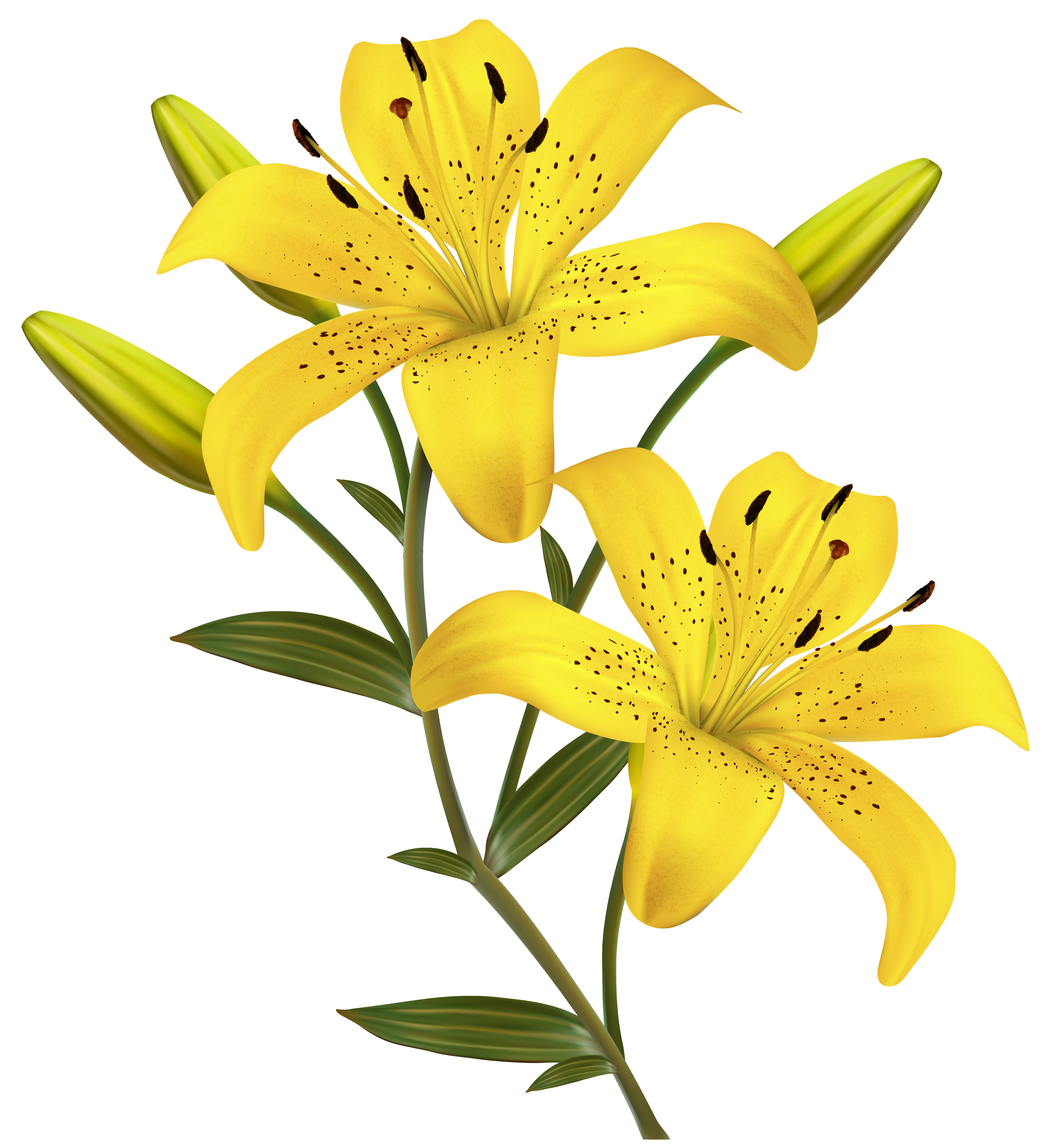 Daffodil clipart lily. Transparent png clip art
