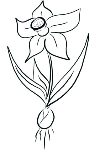 Narcissus drawing. Daffodil coloring page free