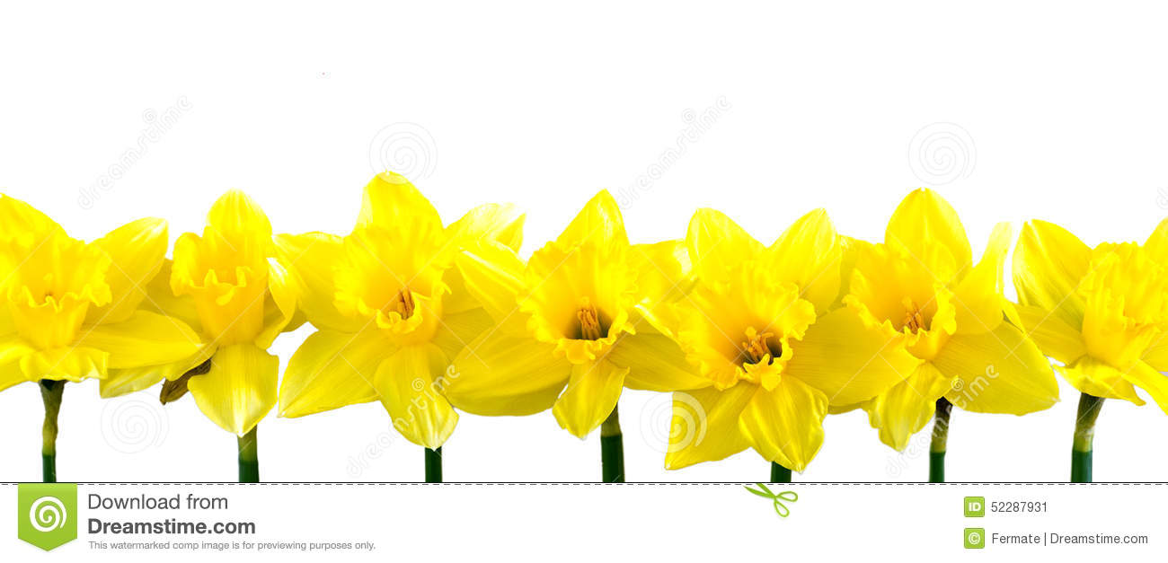 Daffodil clipart row. Daffodils in a on png stock