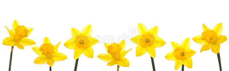 Line stock image of. Daffodil clipart row vector royalty free
