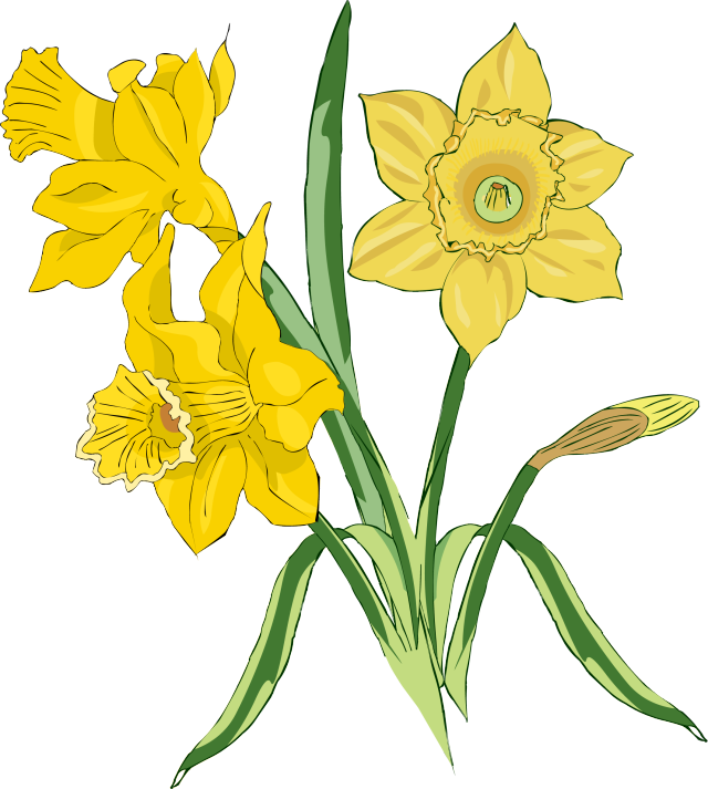 Free clip art download. Daffodil clipart illustration royalty free stock