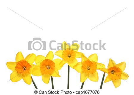 Daffodil clipart tulip. Illustrations and clip art clip royalty free download