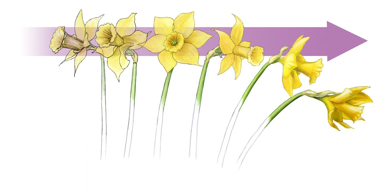 Daffodils help inspire design. Daffodil clipart wind clipart free library