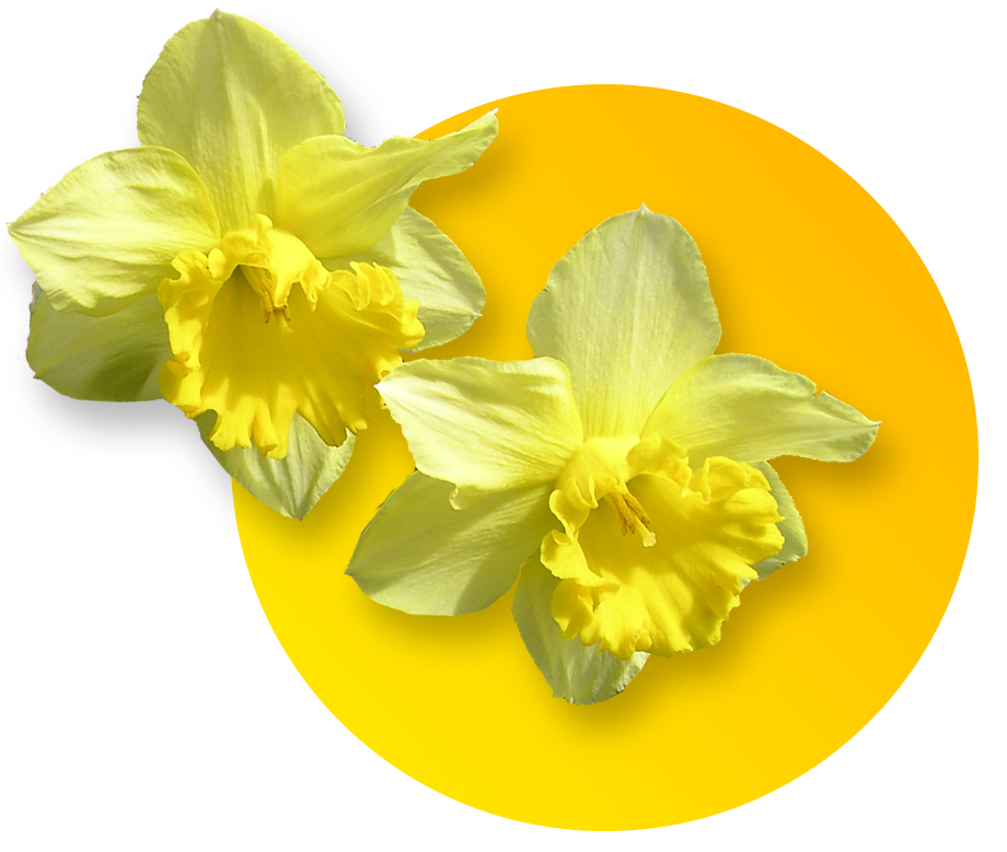 Festival . Daffodil clipart wind graphic black and white library