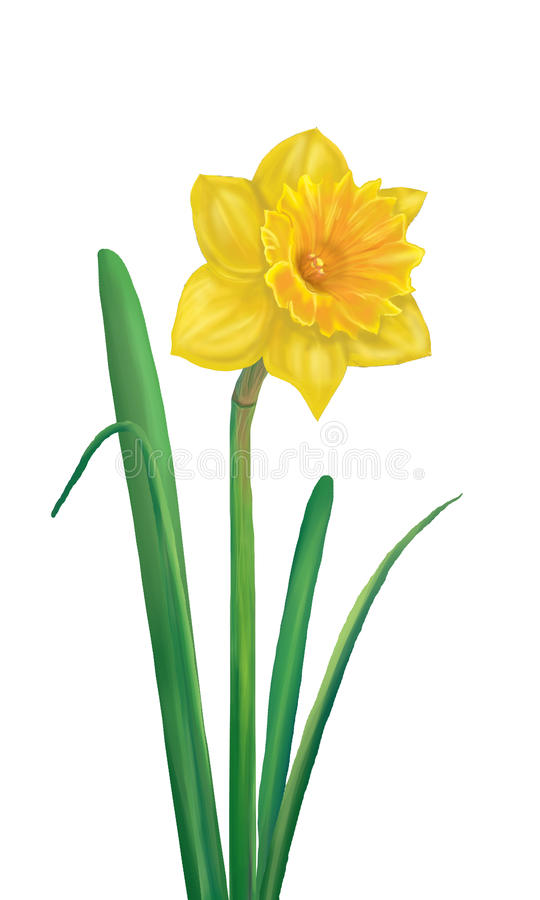 Daffodil clipart wind. Yellow flower stock illustration clipart royalty free download
