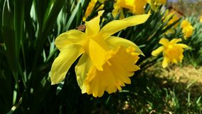 Yellow blowing in the. Daffodil clipart wind jpg library library