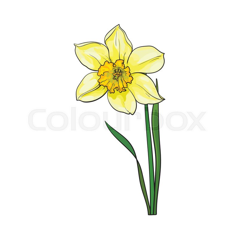 Single yellow narcissus spring. Daffodil clipart wind svg freeuse download