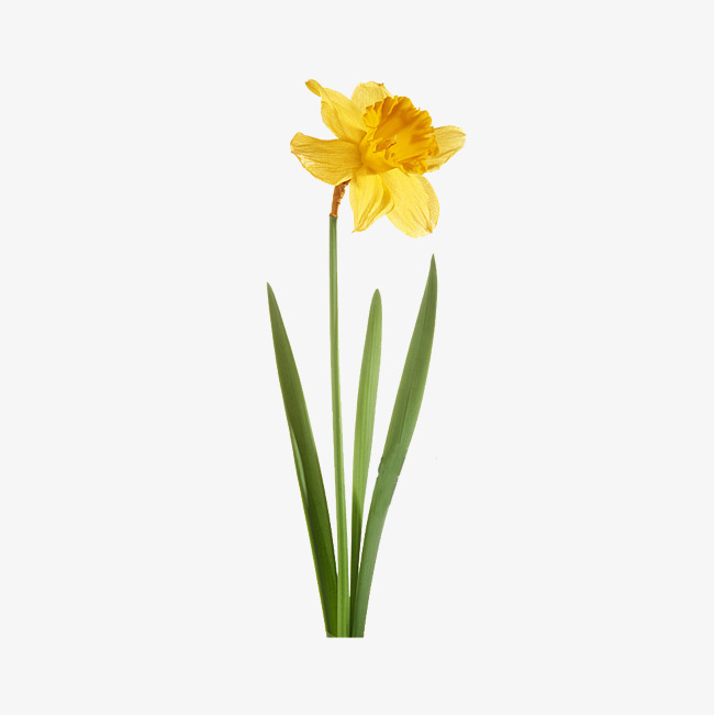 Green botany png image. Daffodil clipart yellow daffodil clip art royalty free download