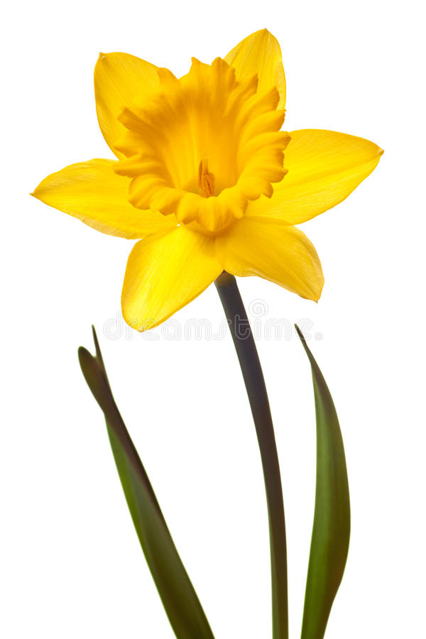 Isolated stock image of. Daffodil clipart yellow daffodil vector library stock