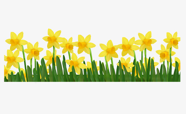 Daffodil clipart yellow daffodil. Hd sea narcissus flowers
