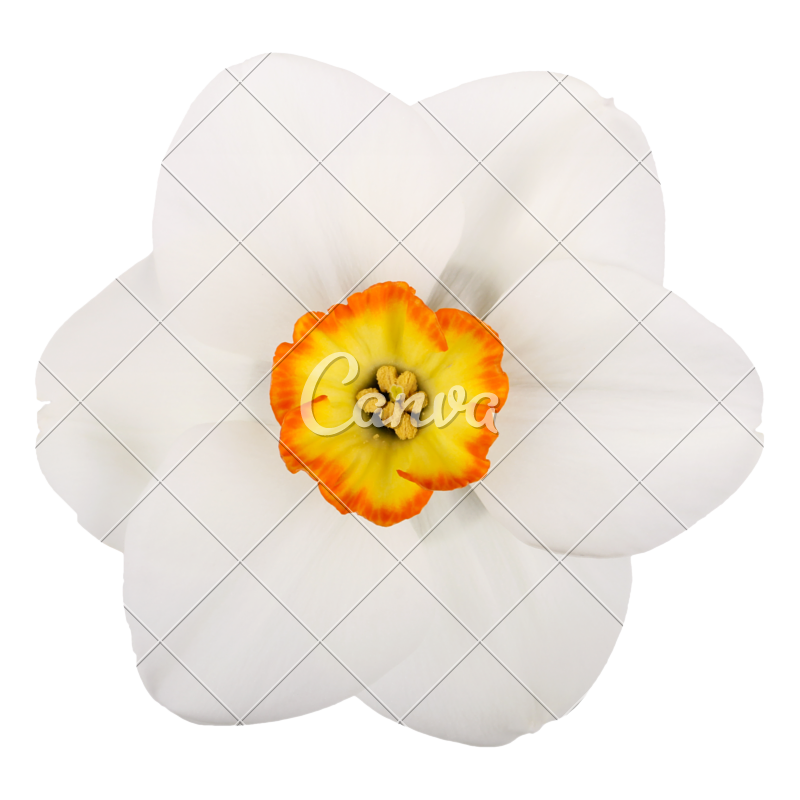 Daffodil vector. Library download spring