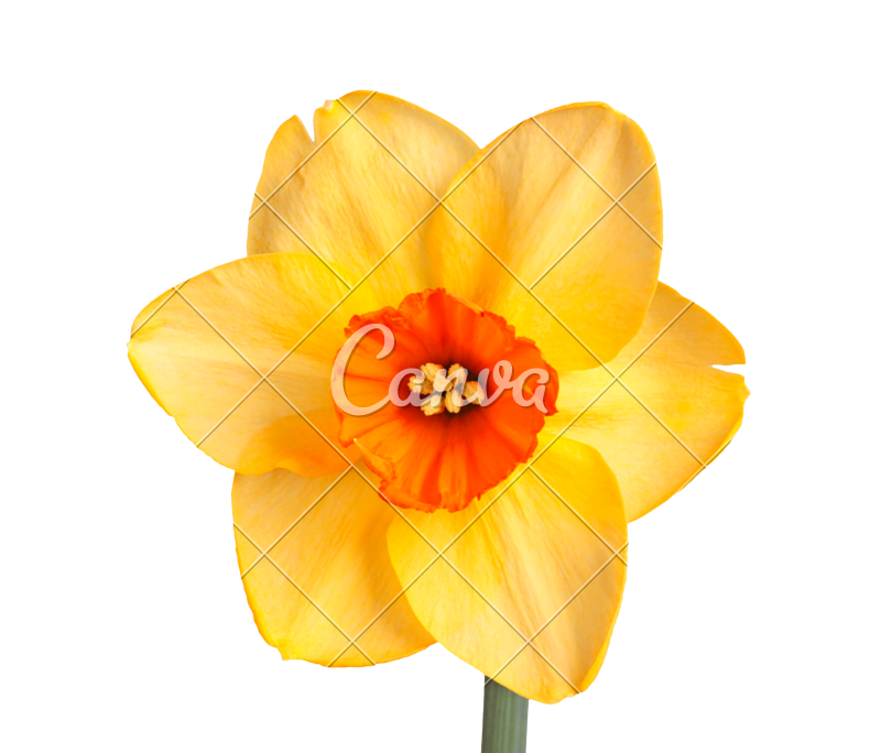 Daffodil vector. Library download teacher