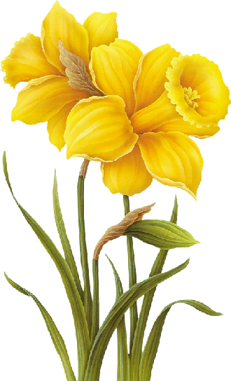 Tubes de kor flores. Daffodil clipart yellow daffodil graphic free stock