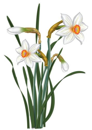 Daffodil vector narcissus flower. Daffodils flowers and