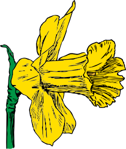 Daffodil vector narcissus flower. Clip art at clker
