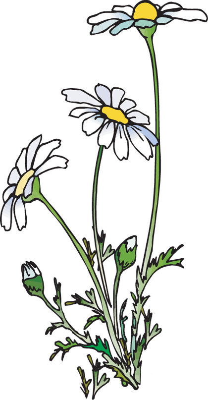 Daisies clipart. Huge freebie download for