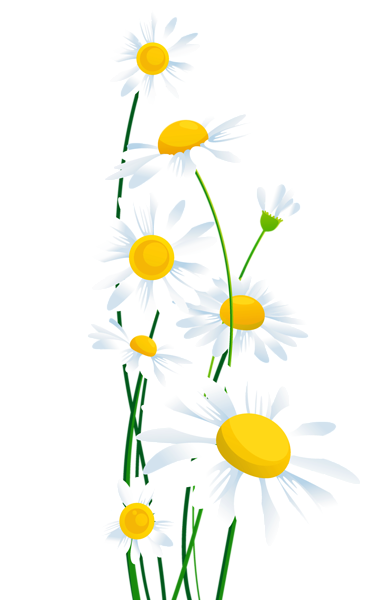 Daisies clipart. Transparent white png margar