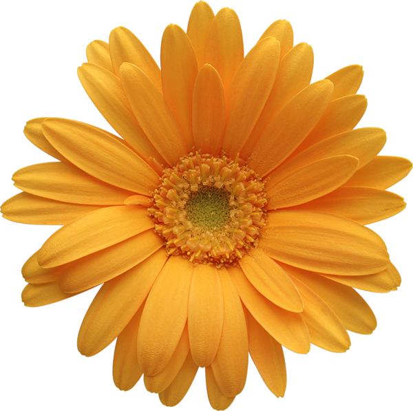 Daisies clipart bow. Orange gerber daisy vectores