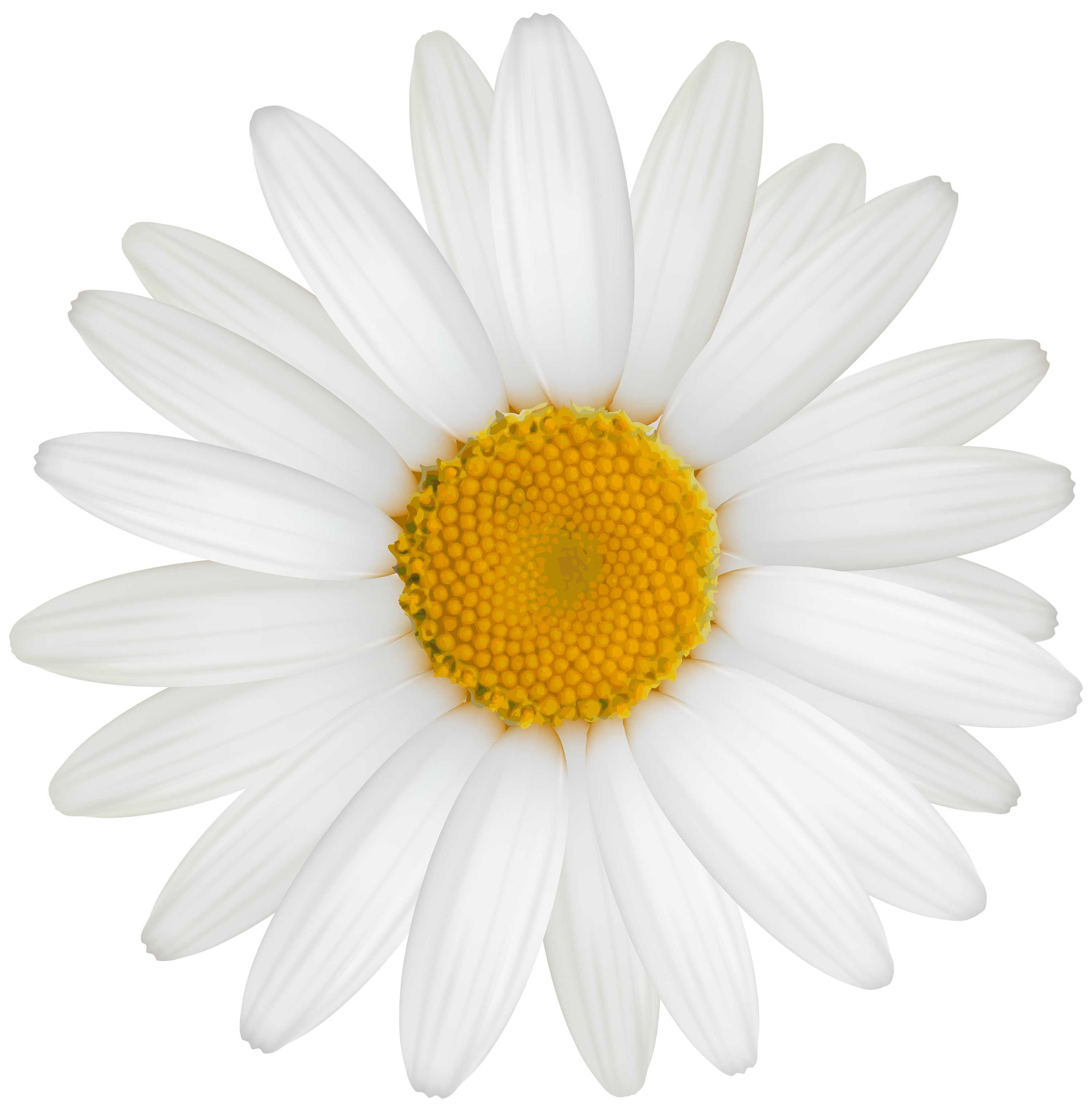 Daisy clipart. White png best web