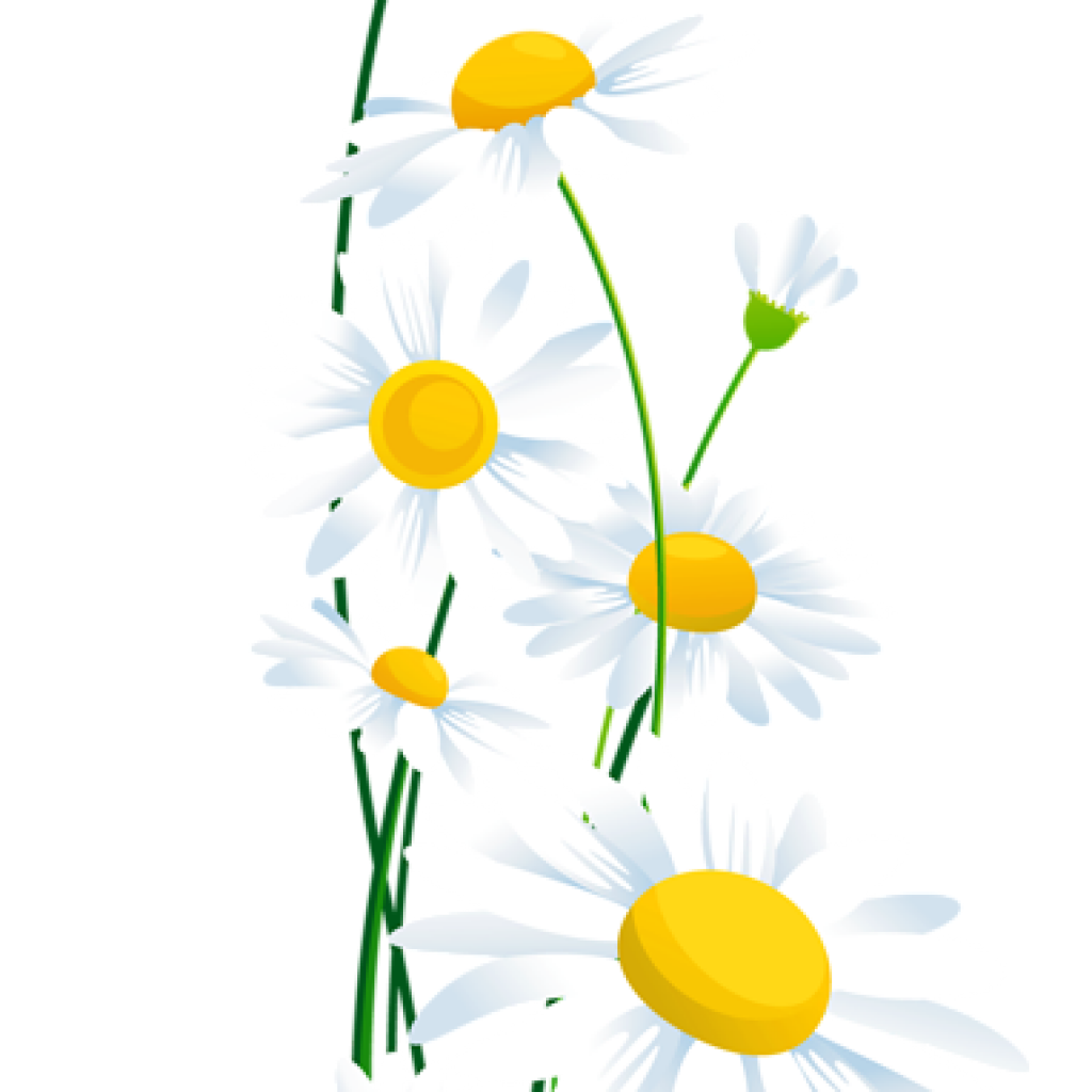 Daisies clipart daisy petal. Free download transparent white
