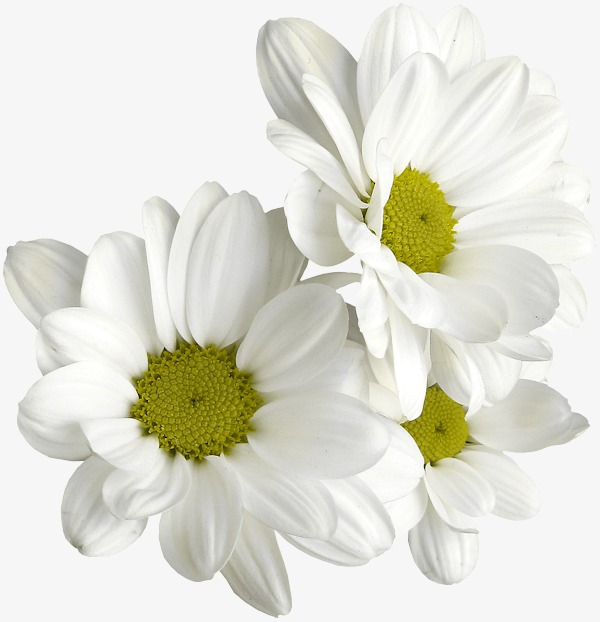 Daisies clipart daisy petal. White yellow png image