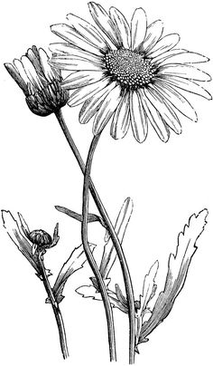 Vintage flower black and. Daisies clipart flowerblack clipart