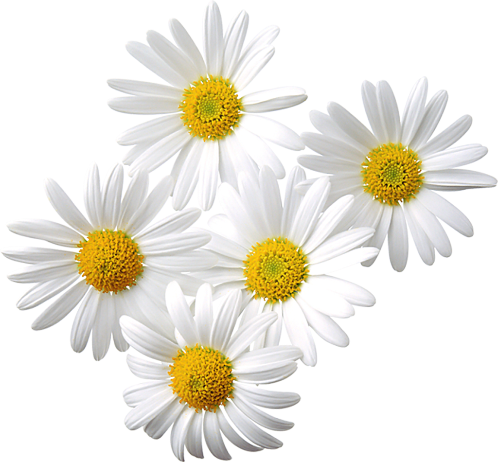 Daisies clipart marguerite daisy. Transparent gallery yopriceville high