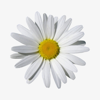 Daisies clipart marguerite daisy. White product kind flowers