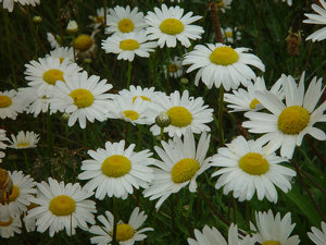 Daisies clipart marguerite daisy. Photo image white
