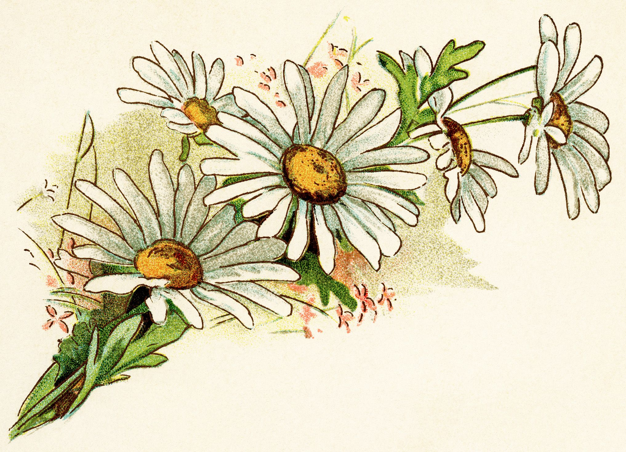 Bouquet clipart daisy bouquet. Vintage image free digital