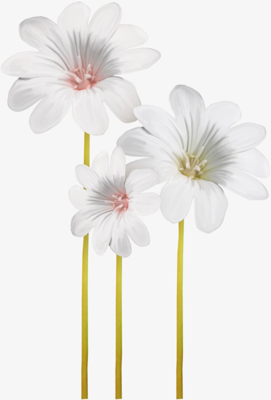 Daisies clipart three. White petal flowers png