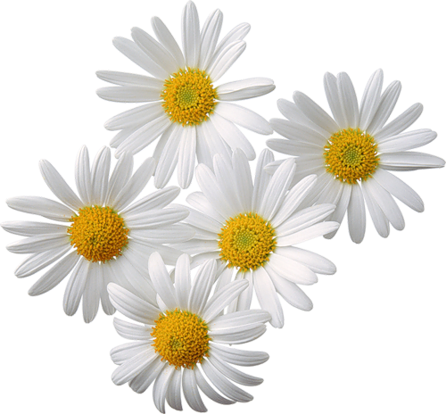 Daisies clipart three. Pin by sergey rykov