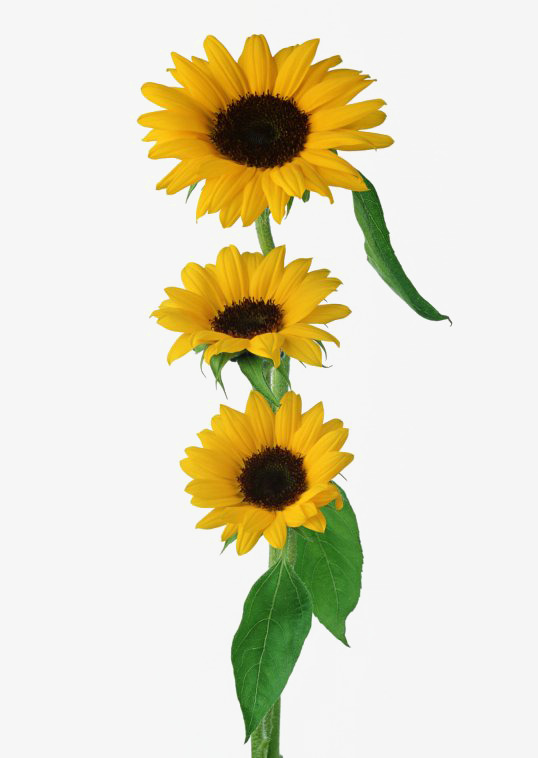 Small daisy sunflower yellow. Daisies clipart three png transparent library