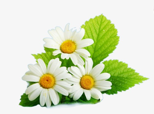 Daisies clipart three. Daisy flower with leaves