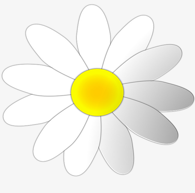 Daisy clipart bloom. White daisies flower png