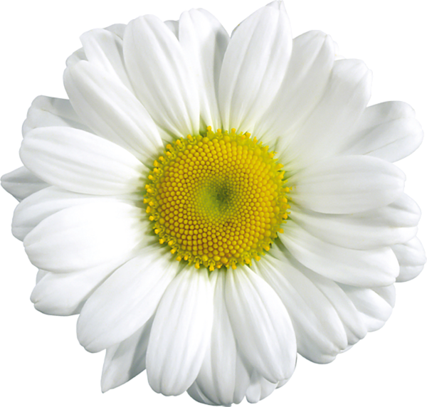 Daisy clipart bloom. Http favata rssing com