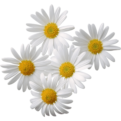 Daisy clipart daisy bouquet. Art nouveau flowers transparent