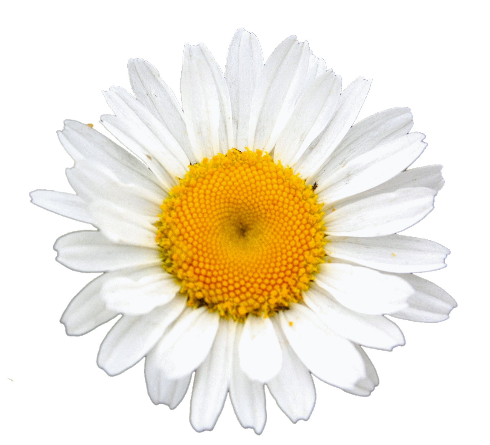 Daisy clipart landscape. Pin by peachy on