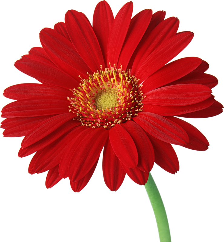 Daisy clipart long stem flower. Red gerber with gallery