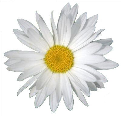 Daisy png. Clipart mart