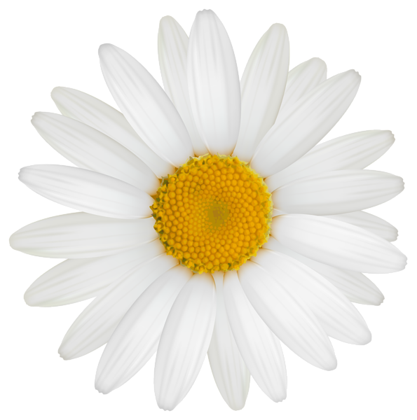 Daisy flower png. Clipart image photography pinterest
